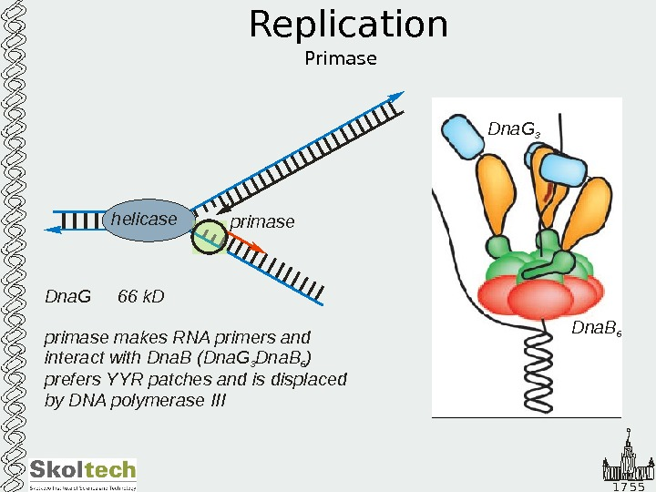 1 7 5 5 Replication Primase. Dna. G 66 k. D primase makes RNA