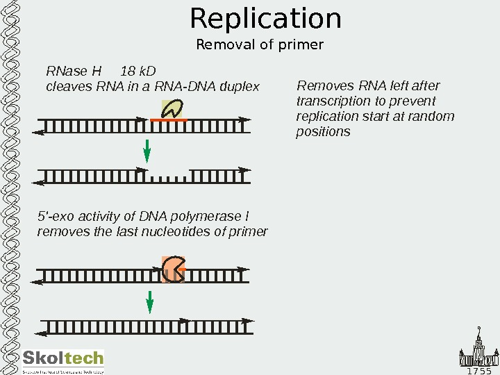 1 7 5 5 Replication Removal of primer 5 '-exo activity of DNA polymerase