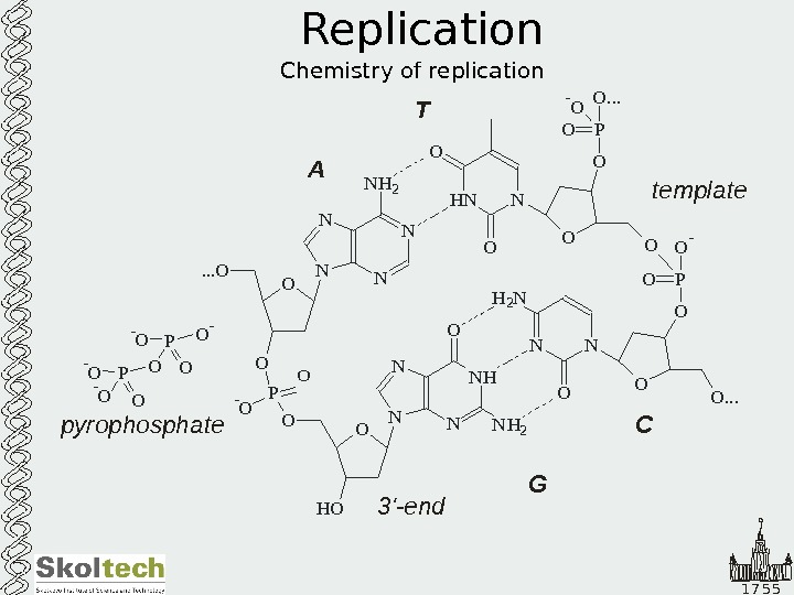 1 7 5 5 Replication Chemistry of replication. O N N NH O O