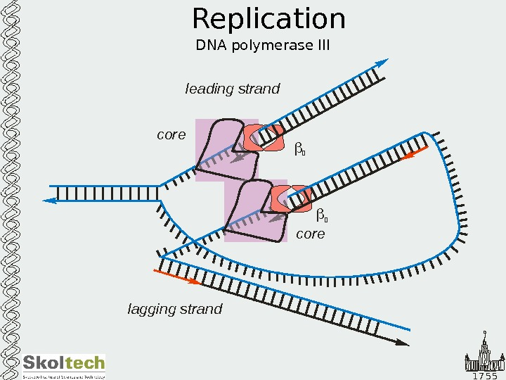 1 7 5 5 Replication DNA polymerase III leading strand lagging strand core 2