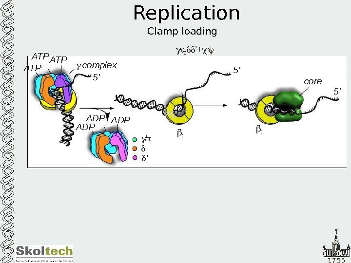 1 7 5 5 Replication Clamp loading  2 '+ ATP ATP complex 5