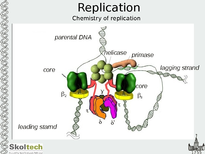 1 7 5 5 Replication Chemistry of replication helicase primase leading starnd lagging strandparental