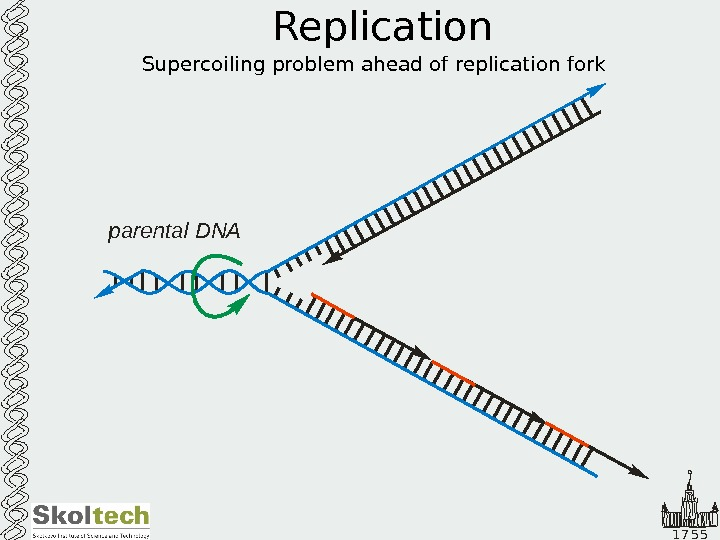 1 7 5 5 Replication Supercoiling problem ahead of replication fork parental DNA