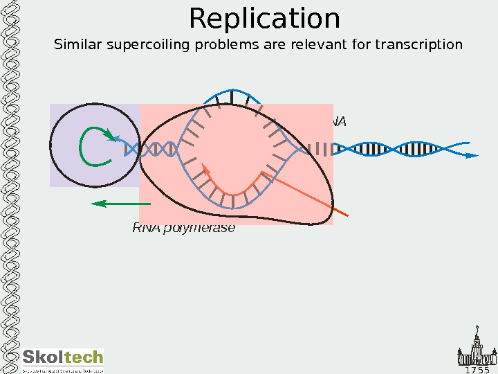 1 7 5 5 Replication Similar supercoiling problems are relevant for transcription DNA RNA