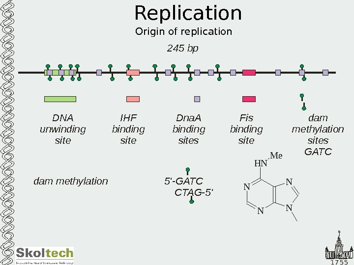 1 7 5 5 Replication Origin of replication 245 bp DNA unwinding site Dna.