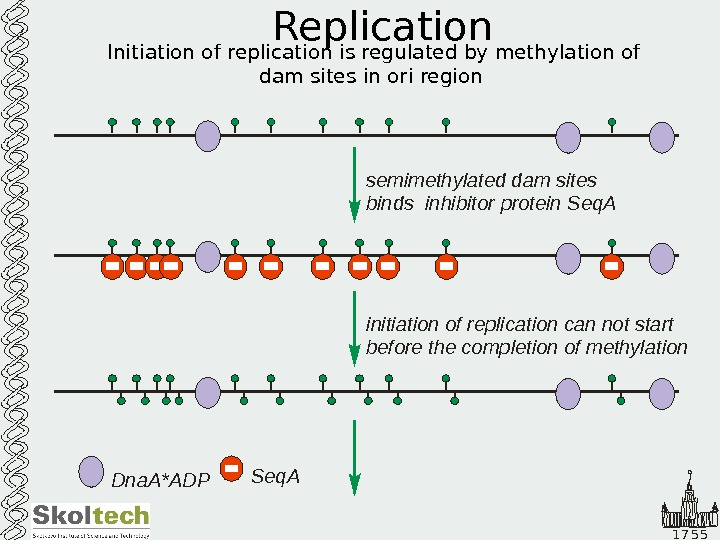 1 7 5 5 Replication Initiation of replication is regulated by methylation of dam