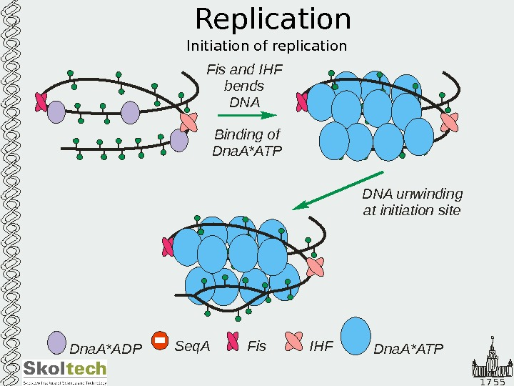 1 7 5 5 Replication Initiation of replication Dna. A*ADP Seq. A Fis IHFFis