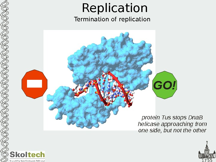 1 7 5 5 Replication Termination of replication protein Tus stops Dna. B helicase