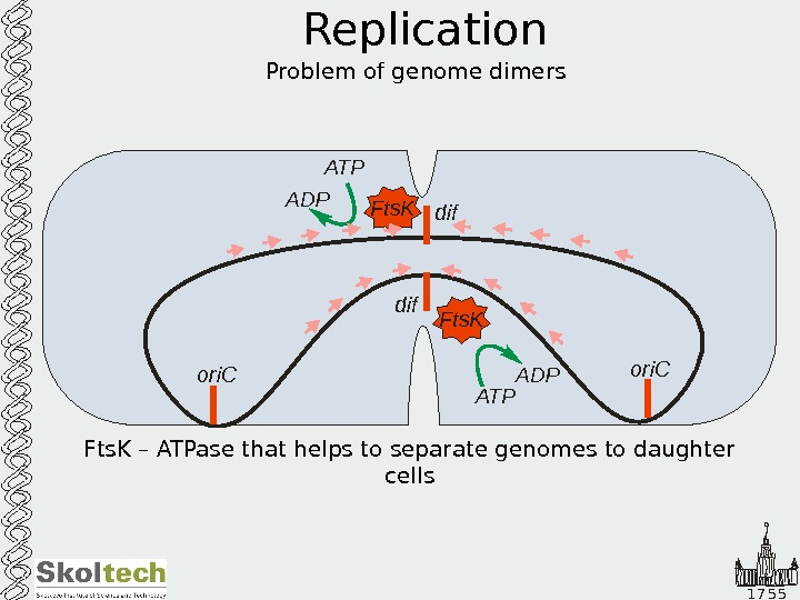 1 7 5 5 Replication Problem of genome dimers Fts. K – ATPase that