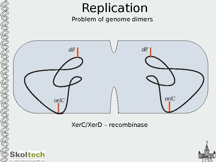 1 7 5 5 Replication Problem of genome dimers ori. C dif Fts. K