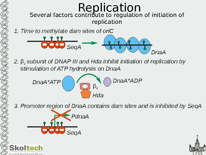1 7 5 5 Replication Several factors contribute to regulation of initiation of replication