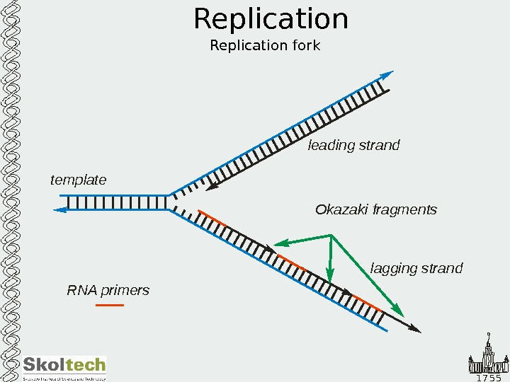 1 7 5 5 Replication fork leading strand lagging strandtemplate Okazaki fragments RNA primers