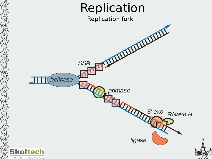 1 7 5 5 Replication helicase SSB primase 5 ' exo RNase Н ligase