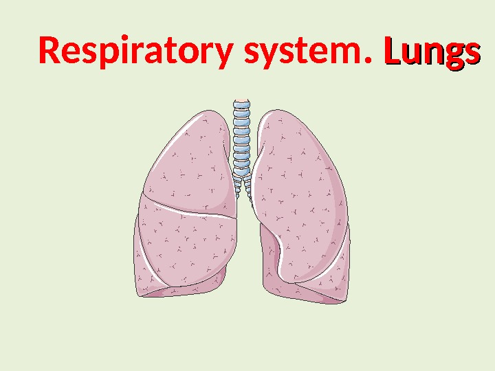 Respiratory system.  Lungs