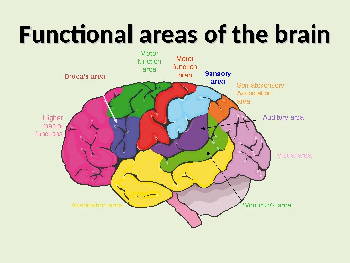Functional areas of the brain Higher mental functions Broca's area Motor function area Somatosensory Association area.