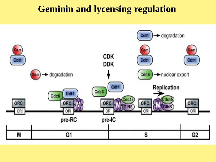Geminin and lycensing regulation