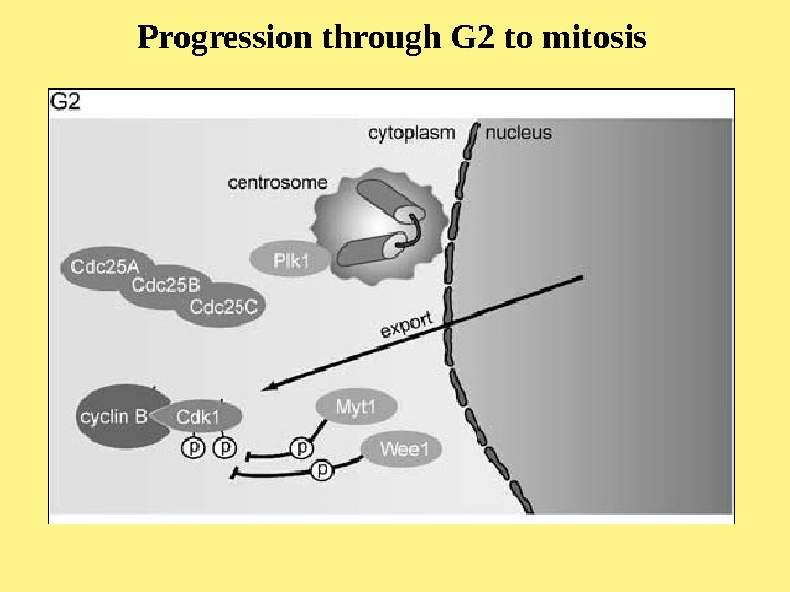 Progression through G 2 to mitosis