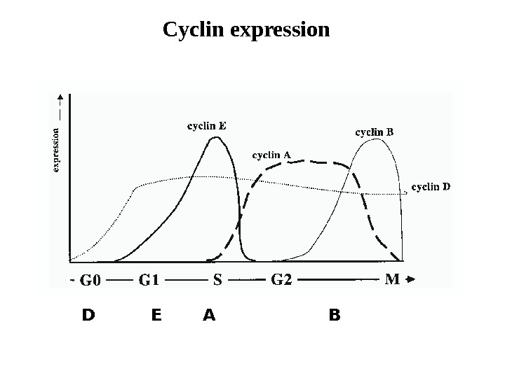 Cyclin expression D E A B