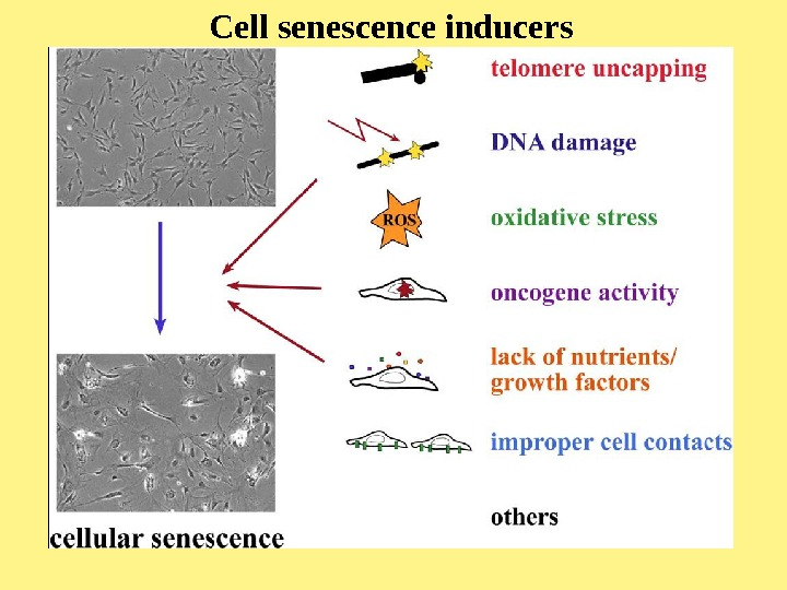 Cell senescence inducers