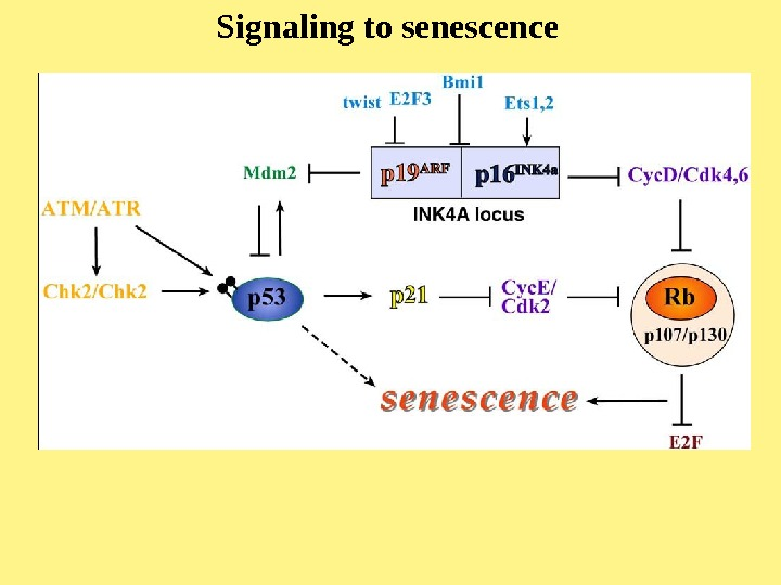 Signaling to senescence