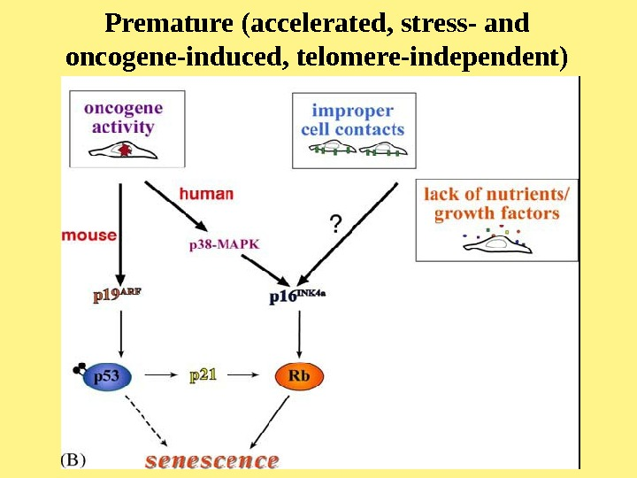 Premature (accelerated, stress- and oncogene-induced, telomere-independent) senescence