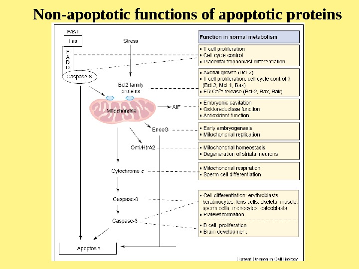 Non-apoptotic functions of apoptotic proteins