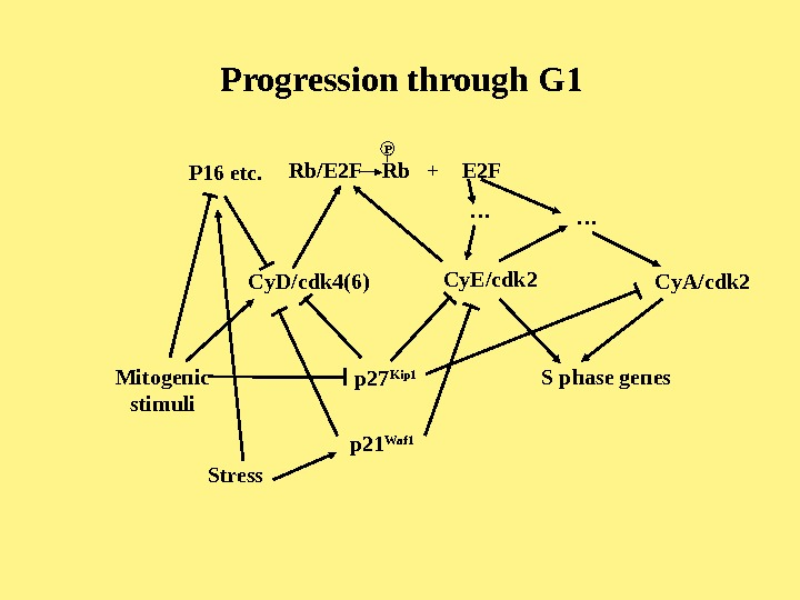 Progression through G 1 Cy. D/cdk 4(6) Cy. E/cdk 2 Cy. A/cdk 2 Rb/E