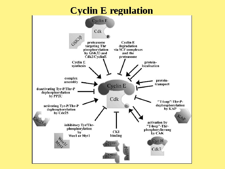 Cyclin E regulation