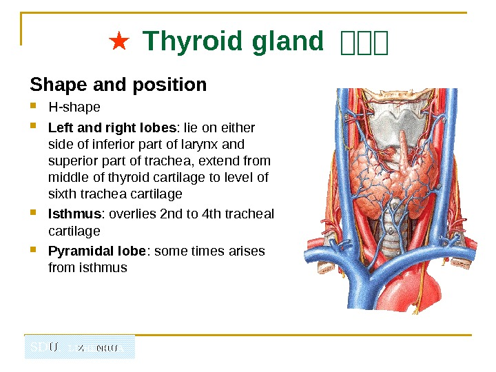 SDU.  LIZHENHUA ★  Thyroid gland 山山山 Shape and position H-shape Left and