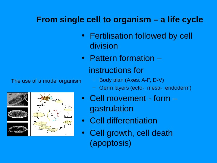 From single cell to organism – a life cycle The use of a model organism •