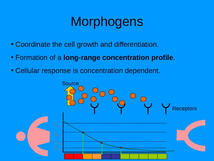 Morphogens •  Coordinate the cell growth and differentiation.  •  Formation of a long-range