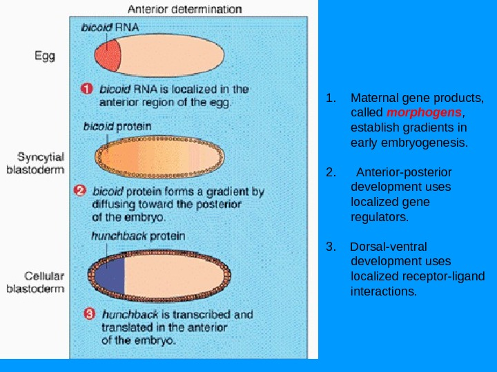 1. Maternal gene products,  called morphogens ,  establish gradients in early embryogenesis. 2.