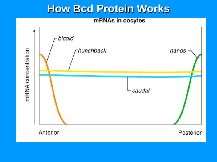 How Bcd Protein Works