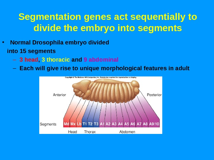 Segmentation genes act sequentially to divide the embryo into segments • Normal Drosophila embryo divided into