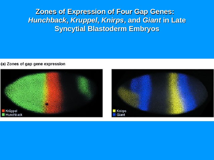 Zones of Expression of Four Gap Genes:  Hunchback , ,  Kruppel , ,