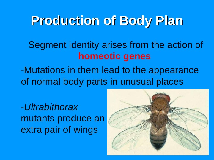 68 Production of Body Plan Segment identity arises from the action of homeotic  genes -Mutations