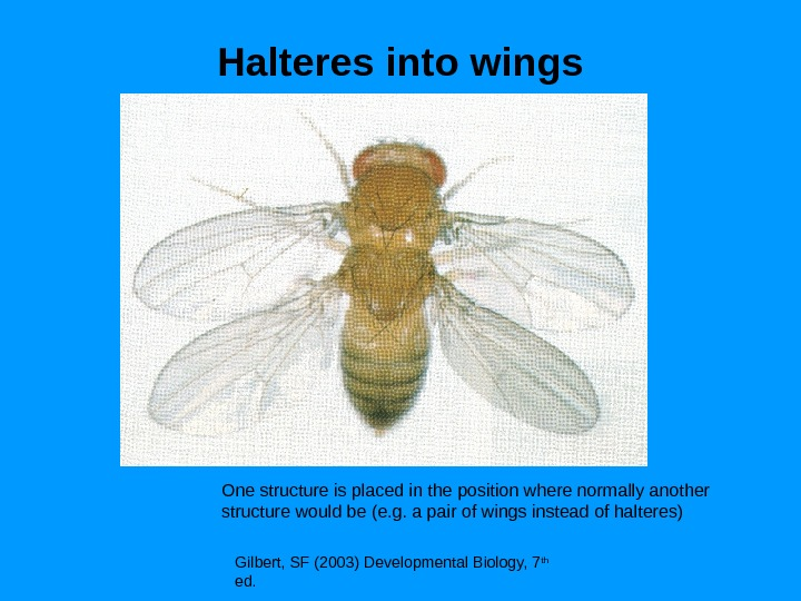 Halteres into wings Gilbert, SF (2003) Developmental Biology, 7 th  ed. One structure is placed