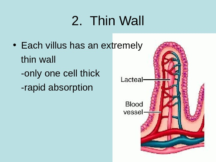 2.  Thin Wall • Each villus has an extremely thin wall -only one