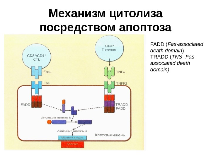 Механизм цитолиза посредством апоптоза FADD ( Fas-associated death domain ) TRADD ( TNS - Fas- associated
