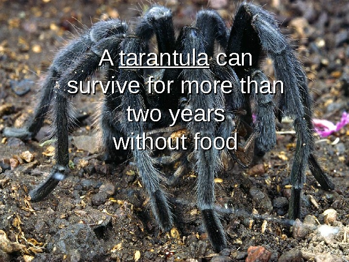 A A tarantula can survive for more than two years without food