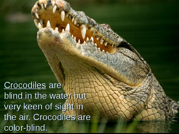 Crocodiles are blind in the water but very keen of sight in the air.