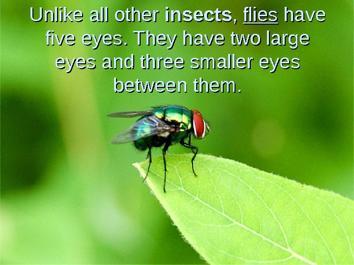 Unlike all other insects , ,  flies have five eyes. They have two