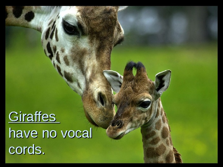 Giraffes have no vocal cords.