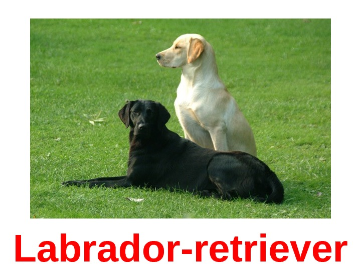 Labrador -retriever