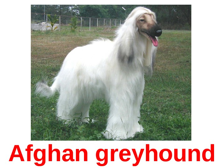 Afghan greyhound