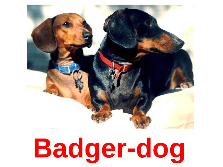 Badger-dog