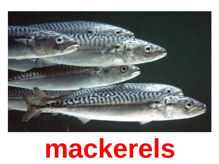 mackerel s