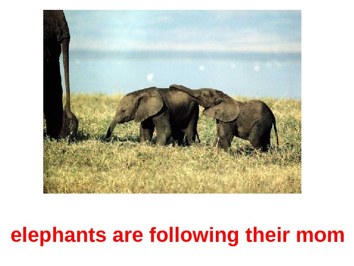 elephants are following their mom
