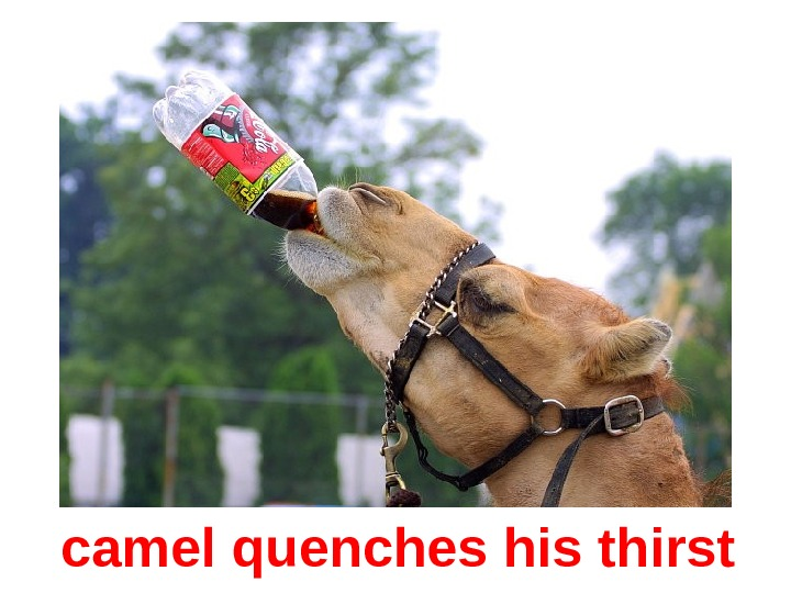 camel quenches his thirst