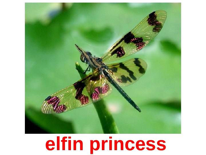 elfin princess